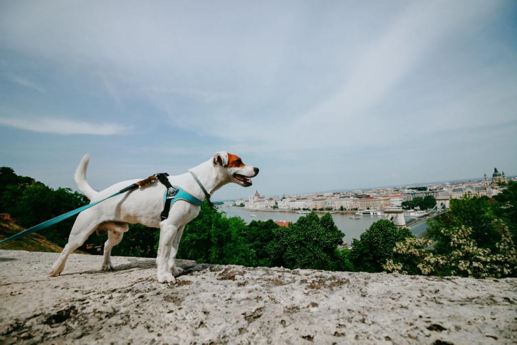 pies na tle miasta