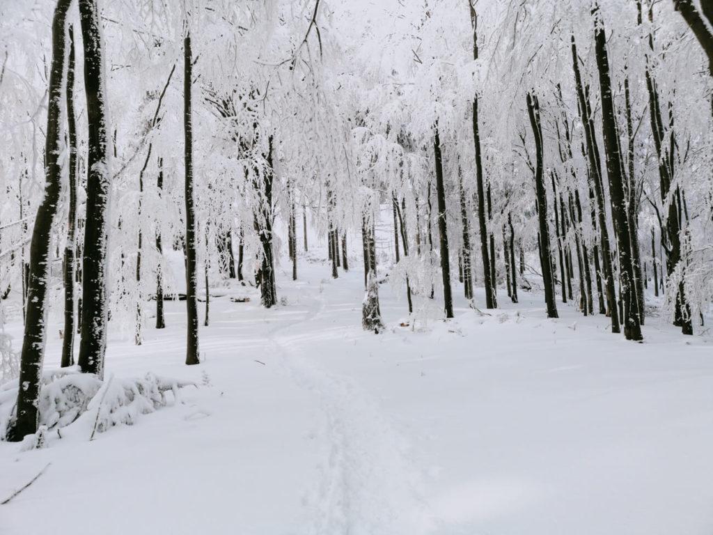 ośnieżone drzewa w lesie w górach